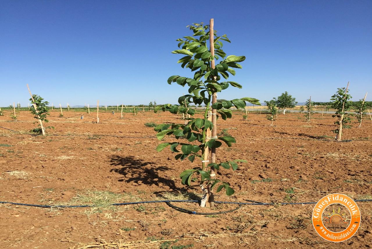 tiempo de nueva plantacion vivero de nogal